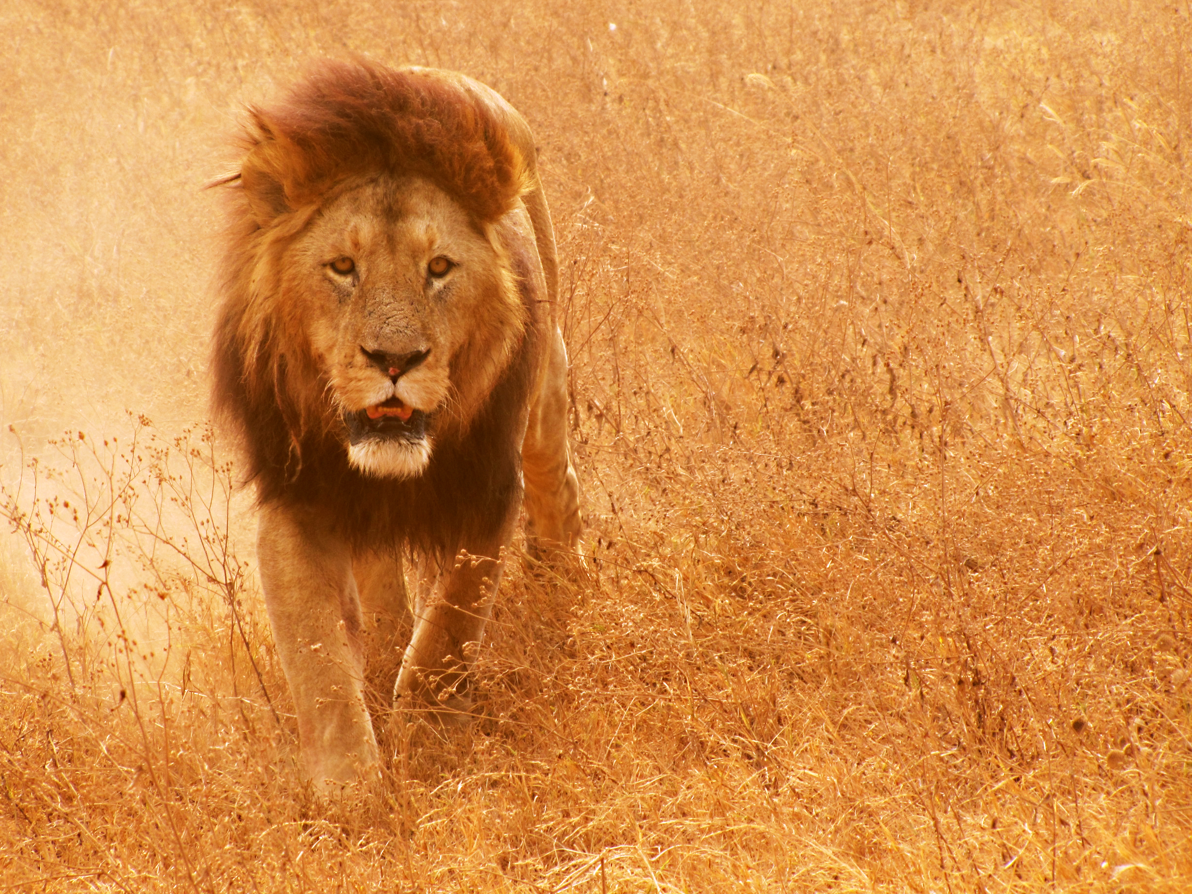 Lion kommer i morgen – Onsdag (bekreftet)